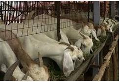kambing di kandang