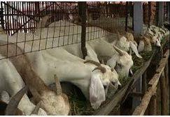 Jasa jual beli kambing, bisnis yang diminati banyak kalangan.